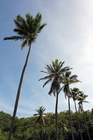 Palm trees lined up in a row on a Caribbean island.