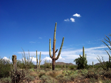 Saguaro Cactus in the Sonora Desert near Tucson, Arizona
