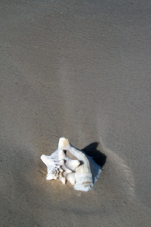 A seashell rests on a sandy Caribbean beach.