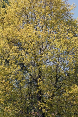 A large tree begins to leaf as the Spring season brings new life.