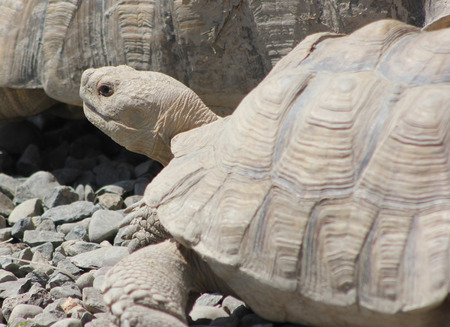 herbivore: The Sulcata Tortoise is a native of Africa.  It can grow to 30-inches in length and weigh up to 110-pounds.  The animal is a herbivore and is most active at dusk and dawn.  It can live 50-years or more. Stock Photo