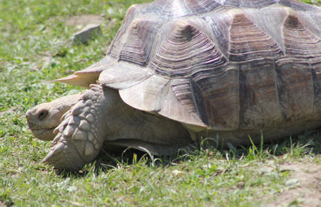 cold blooded: The Sulcata Tortoise is a native of Africa.  It can grow to 30-inches in length and weigh up to 110-pounds.  The animal is a herbivore and is most active at dusk and dawn.  It can live 50-years or more. Stock Photo