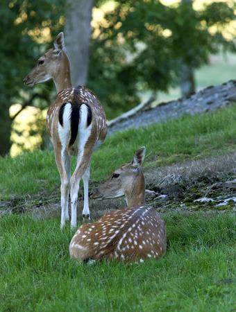 fallow deer: Fallow deer on grass