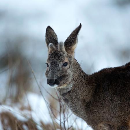 roebuck: Roebuck in winter coat