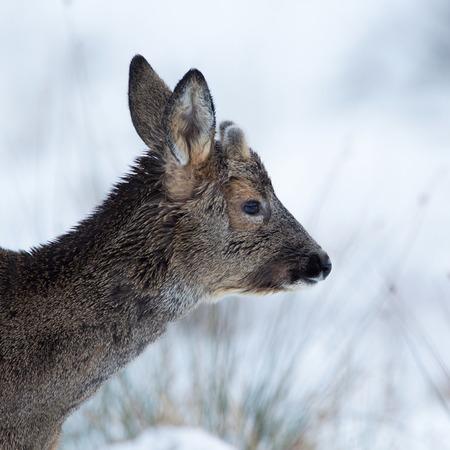 snouts: Doseup of deer in winter coat