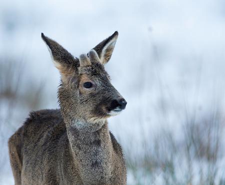 roebuck: Roebuck in winter cold Stock Photo