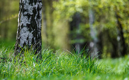A lonely birch in a forest clearing surrounded by green grass.