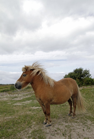 Irish Pony with beautiful mane Stock Photo