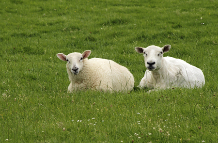 Two sheep on a field in Ireland