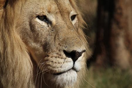 Veteran lion in the sun