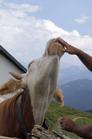 Cow with its tongue sticking out, trying to lick a human hand at a mountain pasture in the alps