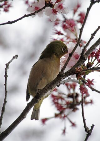 Mejiro during Sakura season in a cherry blossom tree in Tokyo, Japan