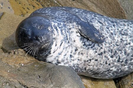 Sleeping seal at the coast of San Diego, California