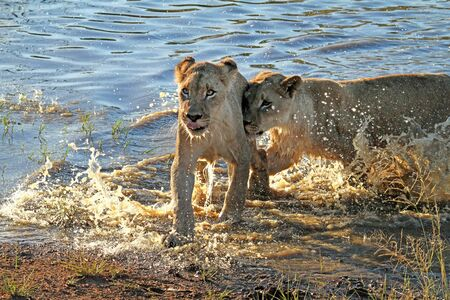 Two young lions running through the shallow water of a pond at a South African wildlife reserve
