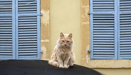 A golden-haired cat sitting on a car in between two windows with closed blinds