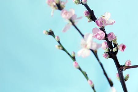 branch of peach flowers photo