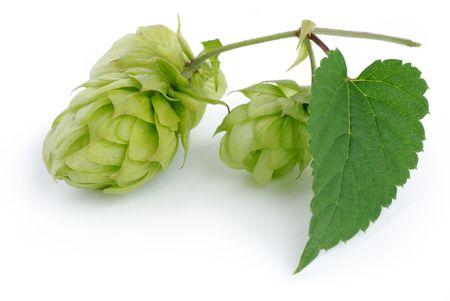 ferment: branch of hop