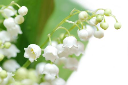 lily of the valley: lily of the valley