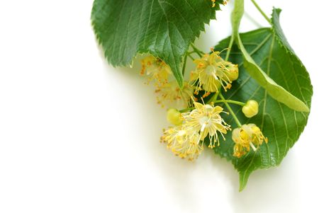 leaves and flowers of linden