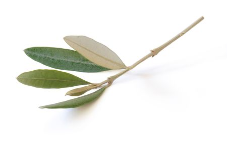 branch of olive Stock Photo