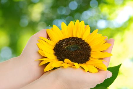 hand holding plant: sunflower