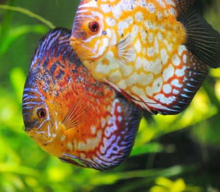 discus fish Stock Photo - 6864766