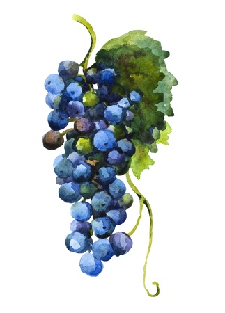 bunch of grapes: watercolor of grape Stock Photo