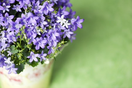 bluebells photo