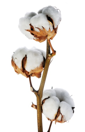 cotton plant: branch of cotton