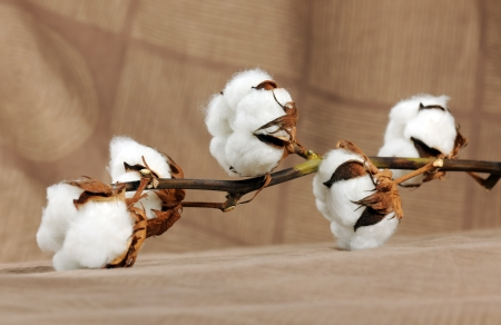 cotton ball: branch of cotton