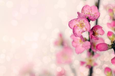 peach blossom: spring flowers