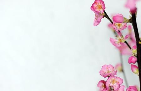 flor de durazno: flores de primavera Foto de archivo