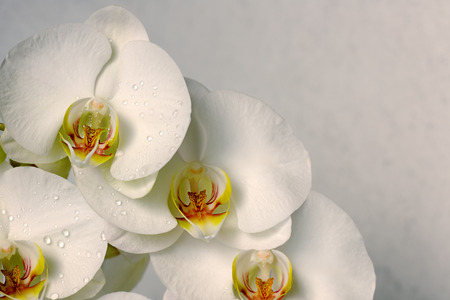 white orchid: white orchids Stock Photo