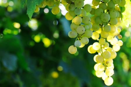 熟した: 熟したブドウ