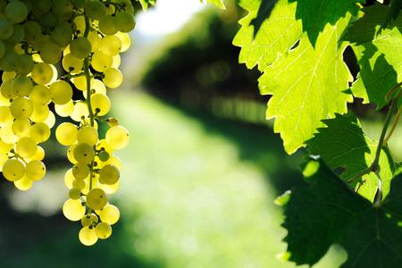 ripe: ripe grape Stock Photo