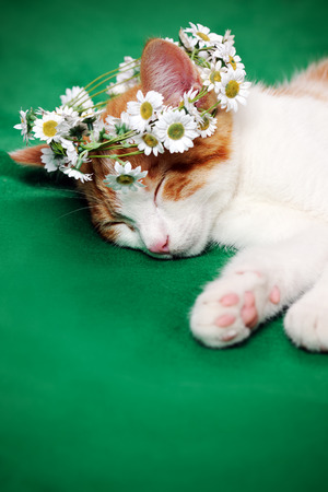 daisy flower: cat with floral wreath