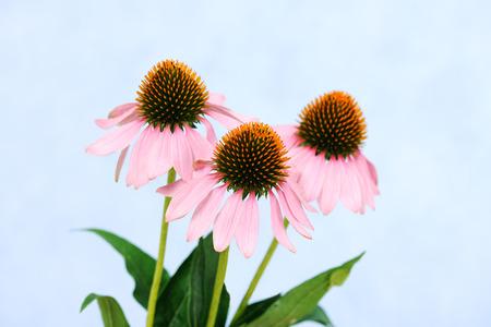 coneflowers: echinacea flowers Stock Photo