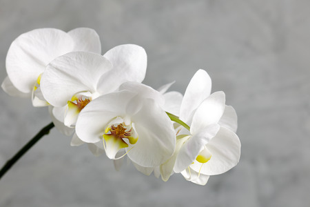 white orchid: white orchid Stock Photo