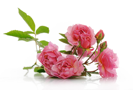 climbing plant: branch of pink climbing rose