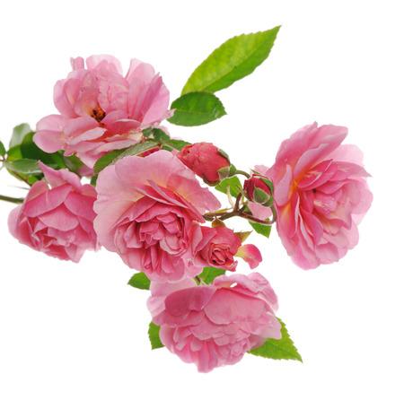 branch: branch of pink climbing rose