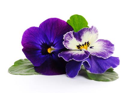 close up: beautiful violets close up
