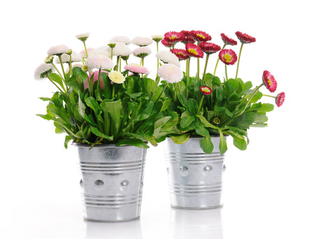 flower pot: pots with daisies Stock Photo