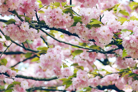 trees seasonal: cherry blossoming
