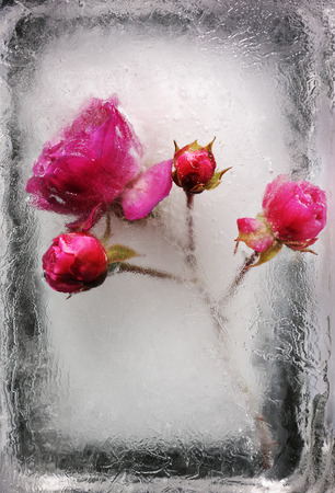 rosas rosadas: beautiful frozen rose