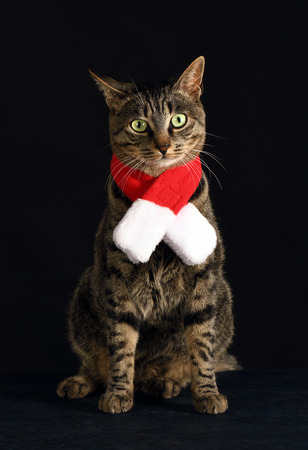 grey cat in a red scarf Stock Photo