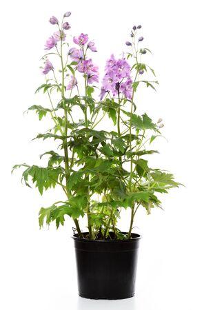 Maceta con planta delphinium sobre fondo blanco. Foto de archivo