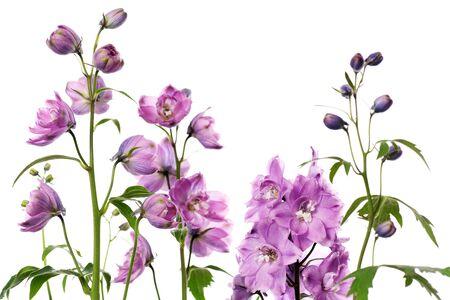 purple delphinium flowers on white background Stock Photo