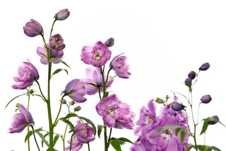 purple delphinium flowers on white background