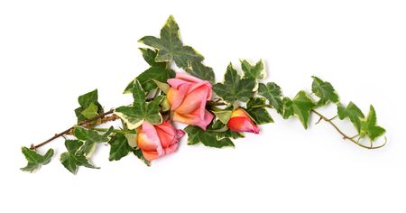 Frame of ivy twigs and pink roses