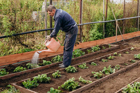 an old man of European appearance waters green plants in the garden from a watering can. Agriculture and horticulture 스톡 콘텐츠